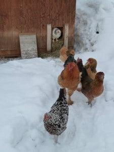 sortie-poules-dans-la-neige