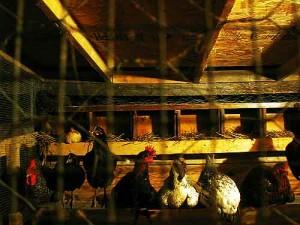 Poules dans un poulailler fermé