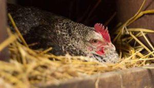 Poule qui couve à vide sans œufs
