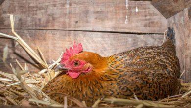 Ma poule couve sans œufs, quoi faire ?