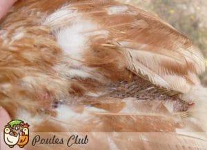 Poule en guérison de gale déplumante