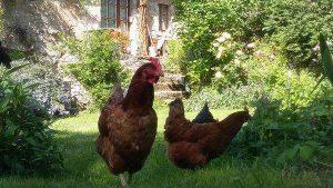 poules-curieuses