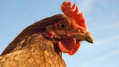 Les principaux vers chez les poules : parasites internes