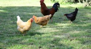 De l'herbe en permanence pour vos poules