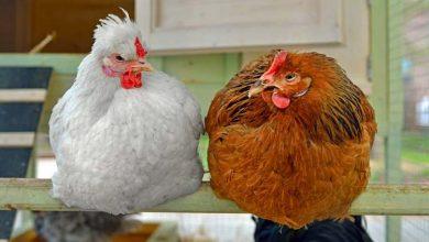 Le perchoir des poules