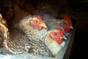 Poules dans les pondoirs