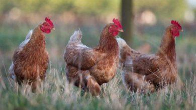 Nos conseils pour acheter vos poules pondeuses