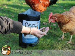 distribution de friandises à nos poules