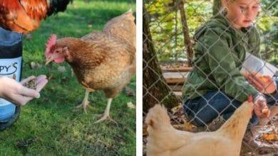 Quelles friandises donner aux poules ?
