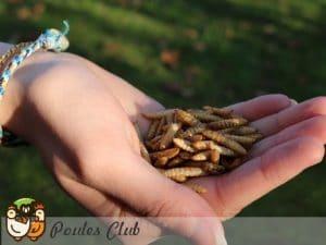Larves séchées - Nutriworms