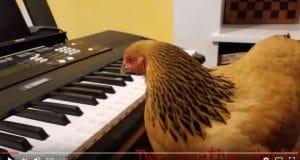 Vidéo d'une petite poule qui joue du piano