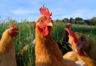 Belles poules pondeuses