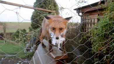 Protéger ses poules du renard