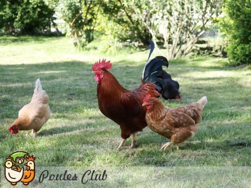 Les poules vivent en groupe social hiérarchisé