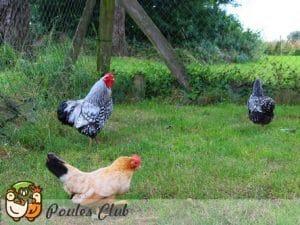 Groupe de poules naines