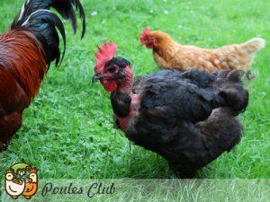 Jacquotte notre poule Cou-nu noire