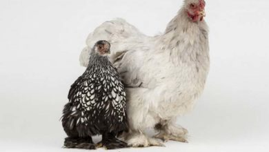 Photo de Poules naines et grandes poules ensemble : cohabitation possible ?