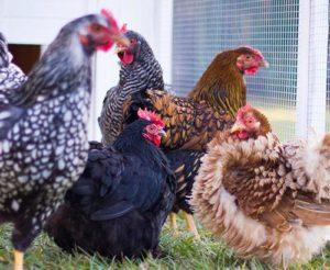 Cohabitation réussie entre des poules naines et des poules pondeuses