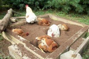Carré de terre aménagé pour le bain des poules