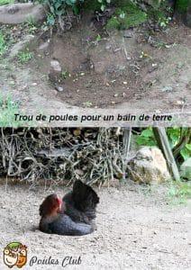 Quand les poules se roulent dans la terre