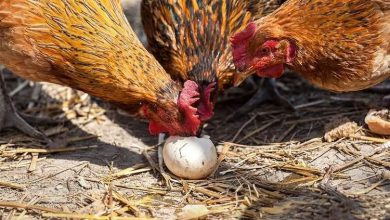 Conseils pour les poules qui mangent leurs œufs