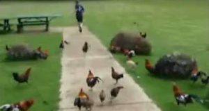 Un enfant poursuivi par des poules et des coqs