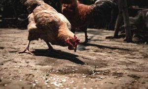 Poule picorant des huitres broyés au sol