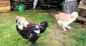 Vidéo poules et coq de race Faverolles souche allemande