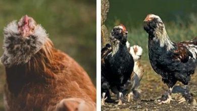 Tout savoir sur la poule Faverolles