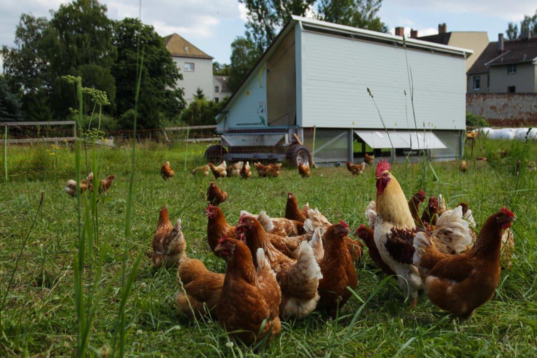 le poulailler mobile tous les avantages pour vos poules. Black Bedroom Furniture Sets. Home Design Ideas