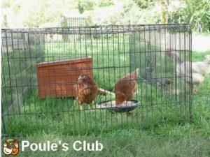 Jeunes poules pondeuses de 5 mois