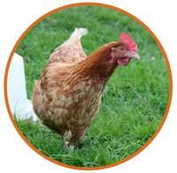 La ponte des poules dur e fr quence et probl mes for Duree de vie des poules pondeuses
