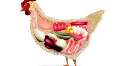 Pour tout savoir de l'appareil reproducteur de la poule