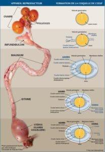 Comment fonctionne l'appareil reproducteur de la poule