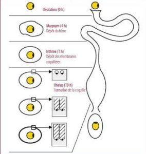 Les étapes de la formation de la coquille