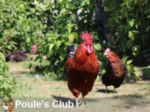 Maestro et Praline poule de 7 ans