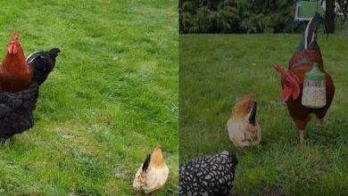 Des jouets à picorer pour les poules