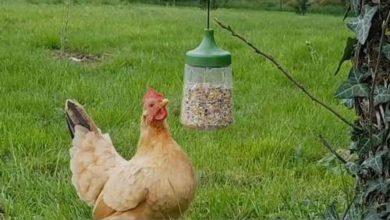 Un accessoire jeu pour les poules