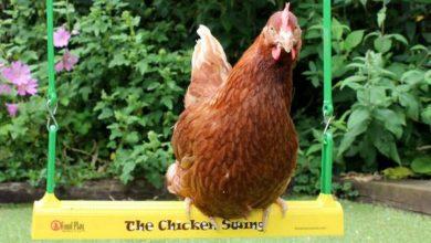 Une balançoire pour poules originale