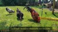 Chicken Swing balançoire poules en vidéo