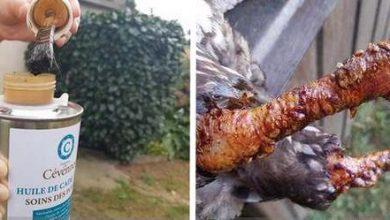 Utilisation de l'huile de cade pour les poules