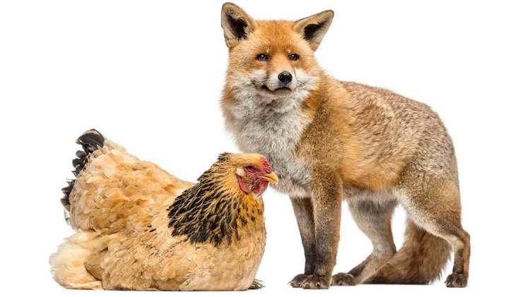 Quels prédateurs peuvent s'attaquer aux poules ?
