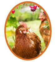 Jolies poules rousses