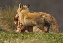 Un renard emportant sa proie