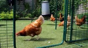 Un enclos sécurisé pour vos poules
