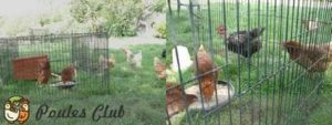 Nouvelles poules à leur arrivée installées dans le parc