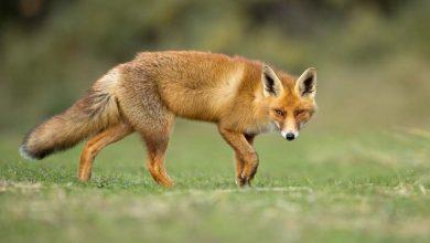 Photo de Un poulailler anti-renard et anti-prédateurs