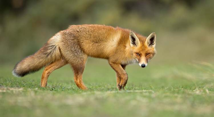 Quel poulailler anti-renard choisir ?