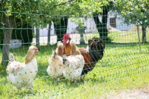 Un enclos fait en filet clôture volailles