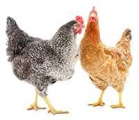 Ces deux poulettes forment un groupe social hierarchisé